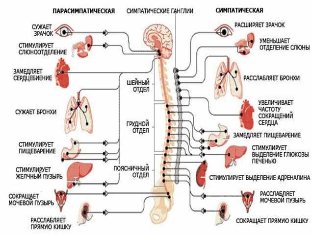 вегетативная нервная система строение